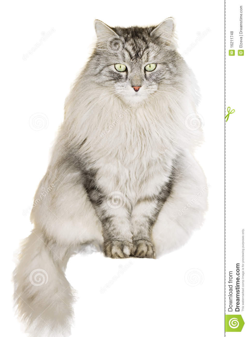 Gray siberian cat on white background