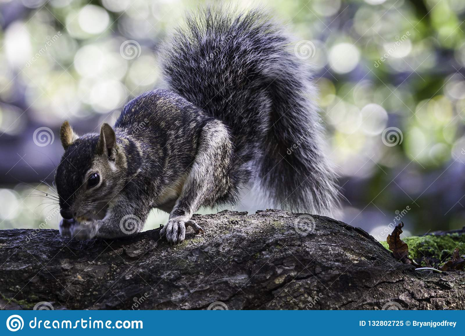 Gray squirrel collecting nuts on a large branch