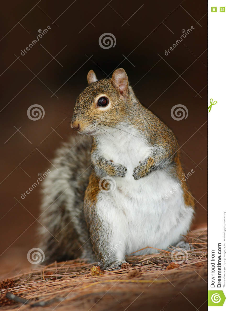Gray Squirrel, Sciurus carolinensis, in the dark brown forest. Cute animal in the nature habitat. Grey squirrel in the meadow with