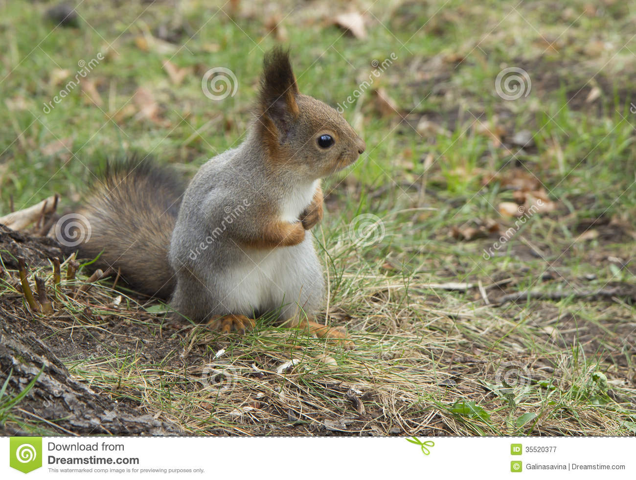 Squirrel is a small beautiful and clever animal with a long body