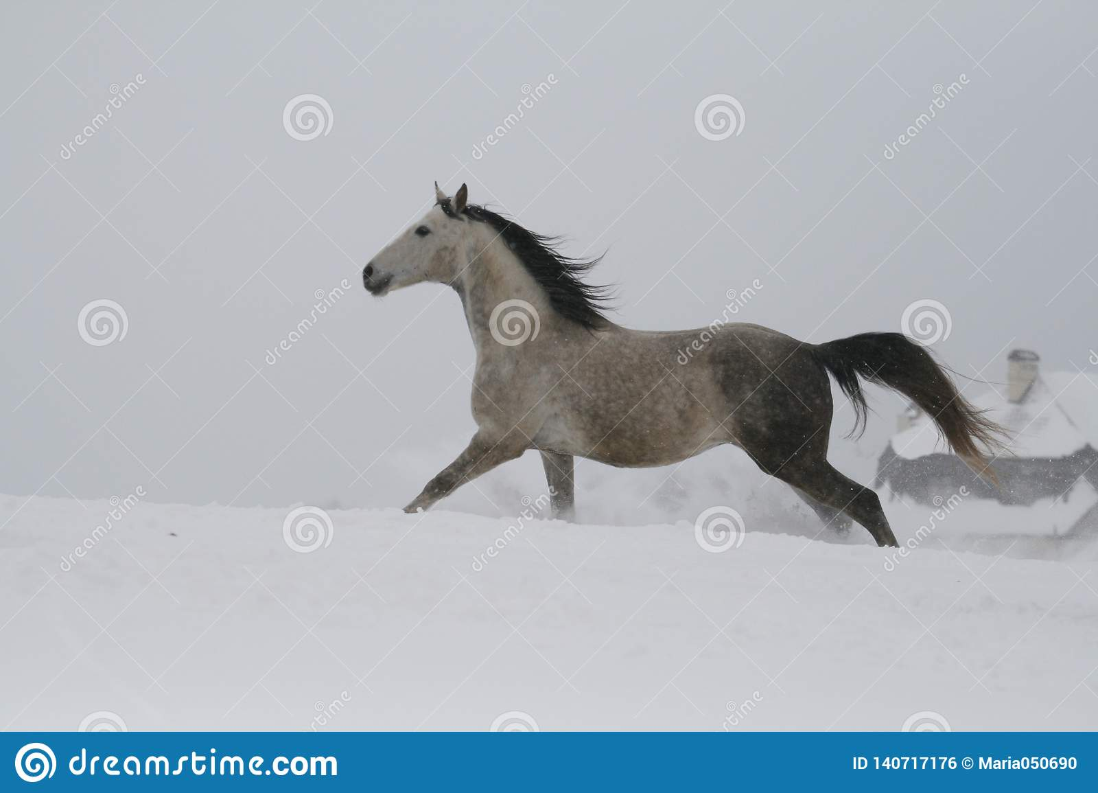 The gray stallion galloping on the slope in the snow. A horse gallops in deep snow.