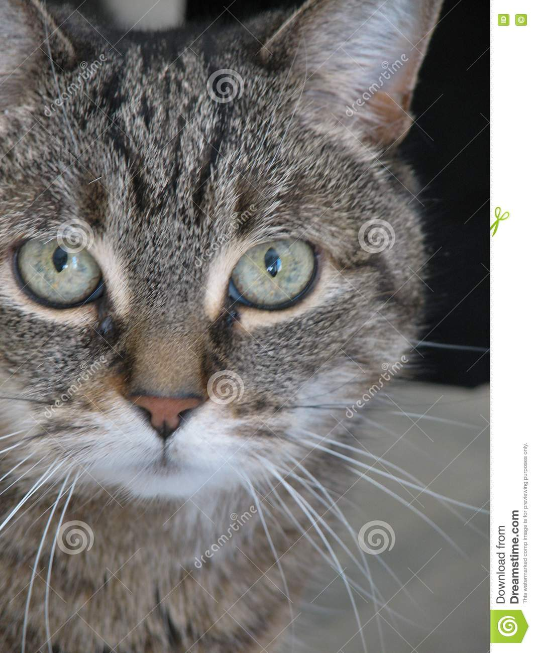 Gray Tabby Cat Face Stock Image Image Of Detail Large