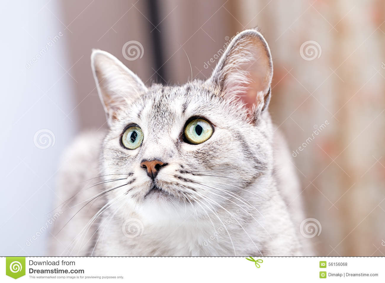 Silver Tabby Scottish Cat Sitting And Looking Up Stock ... Tabby Cat Sitting Up