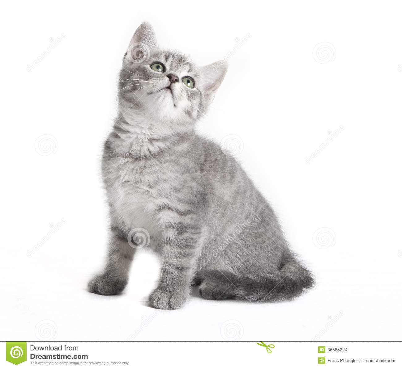 Gray Tabby Cat Looking Up Stock Images Image 36685224