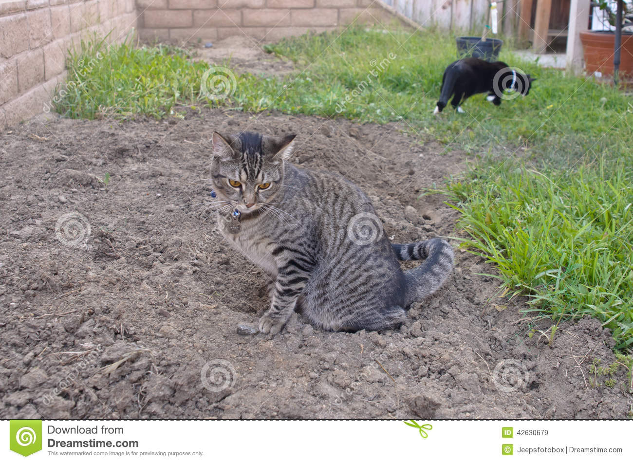 gray tabby cat on ground in backyard stock image image