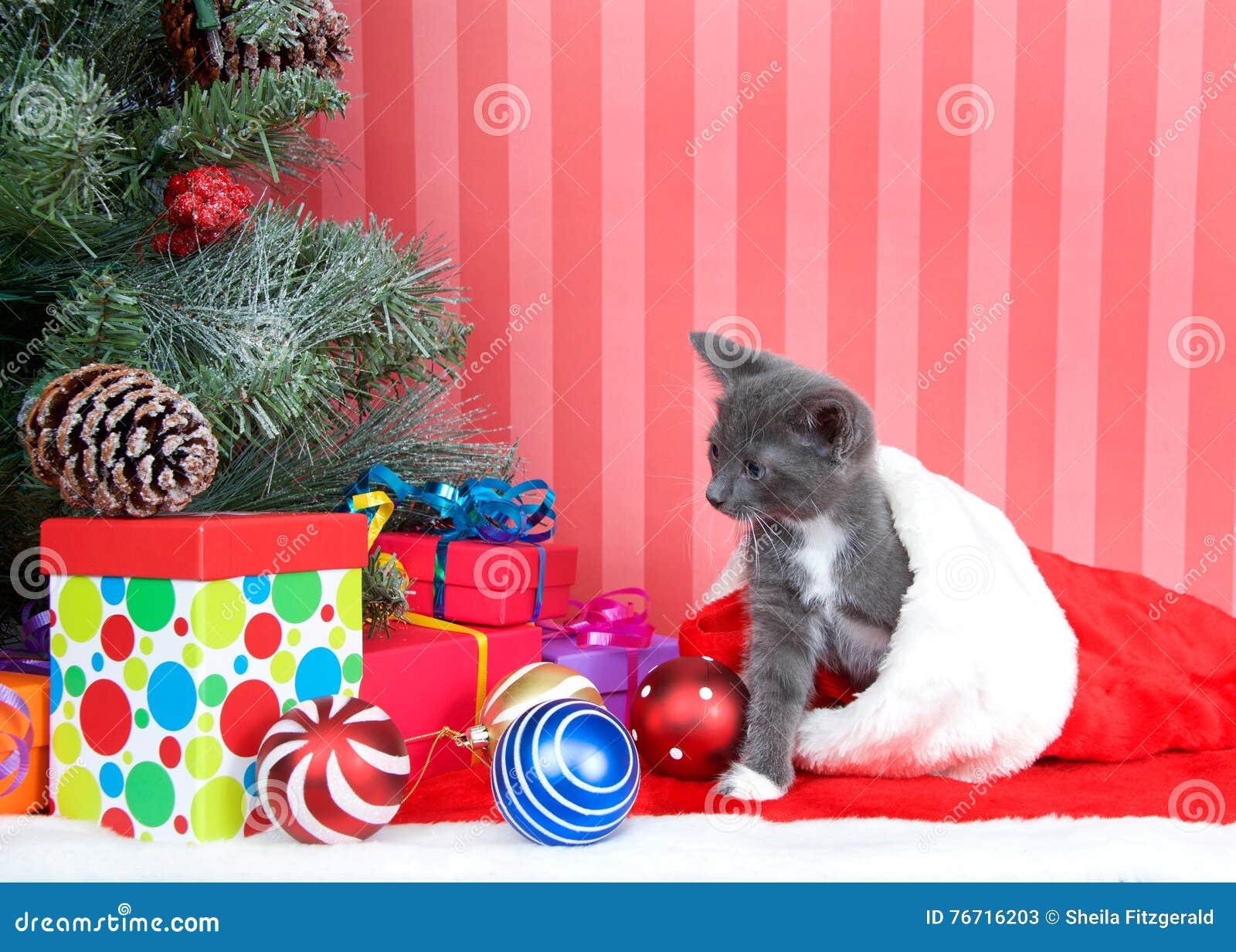 cb5ebaeeaa2 Gray Tabby Crawling Out Of Christmas Stocking Stock Image - Image of ...
