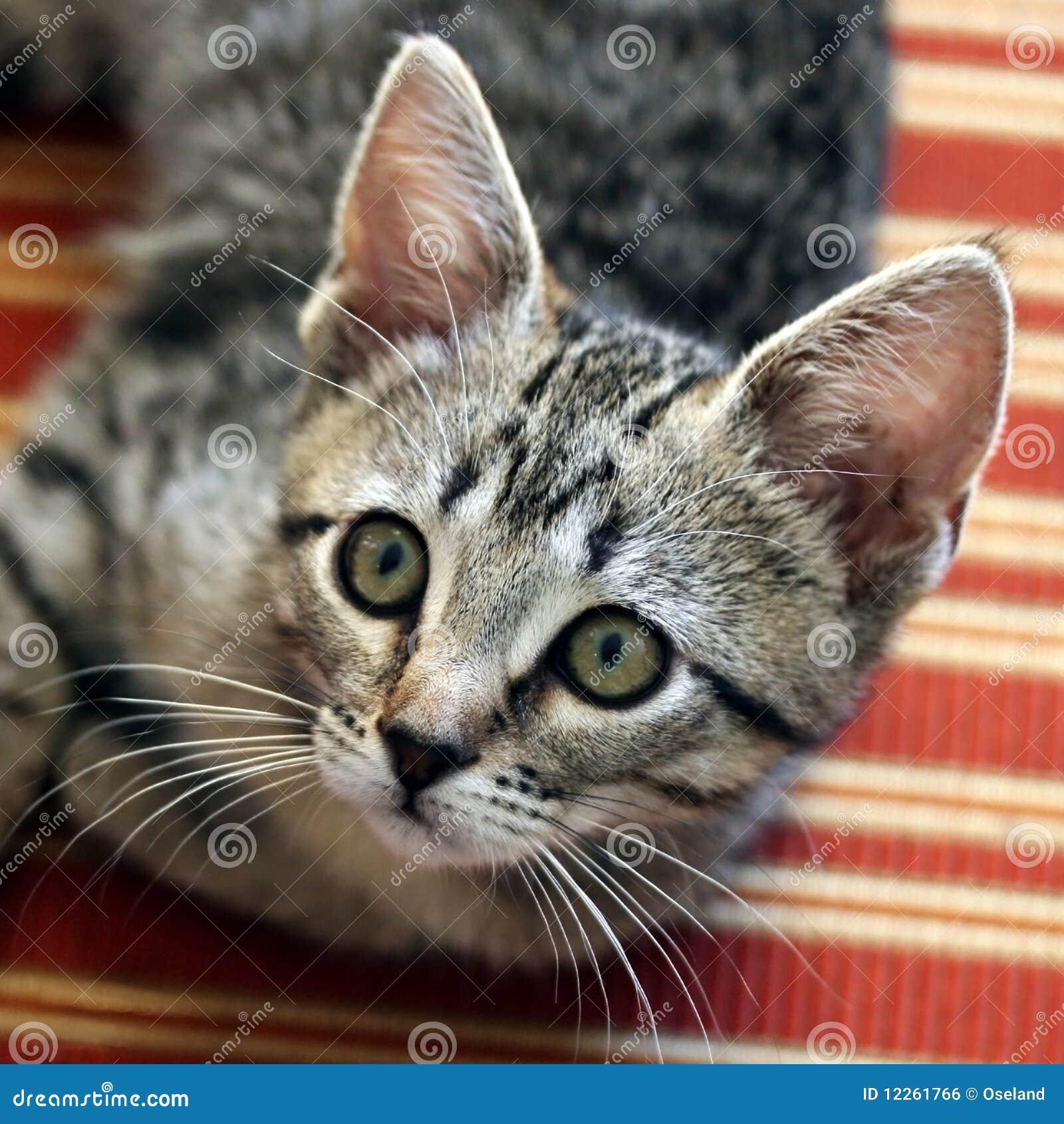 gray tabby kitten on chair stock photo image of kitten 12261766. Black Bedroom Furniture Sets. Home Design Ideas