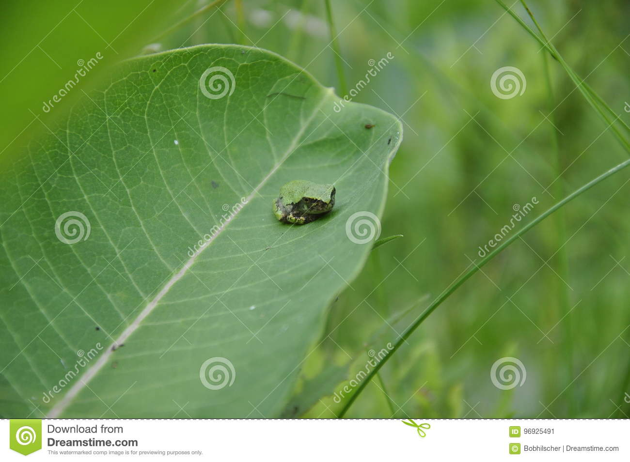 Gray Tree Frog resting on a milkweed plant