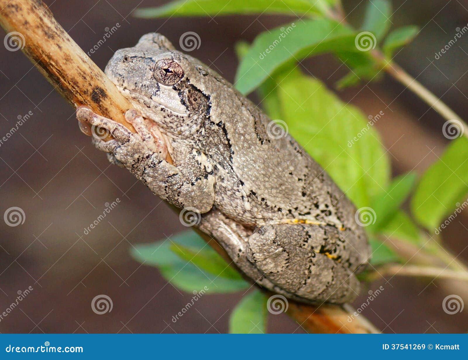 Gray Treefrog or Tree Frog, Hyla versicolor