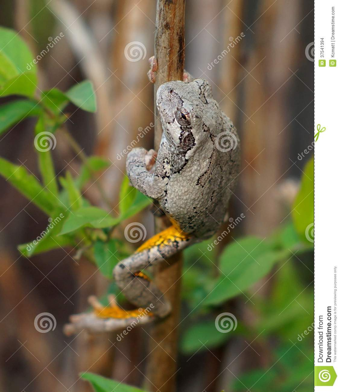Gray Treefrog or Tree Frog, Hyla versicolor