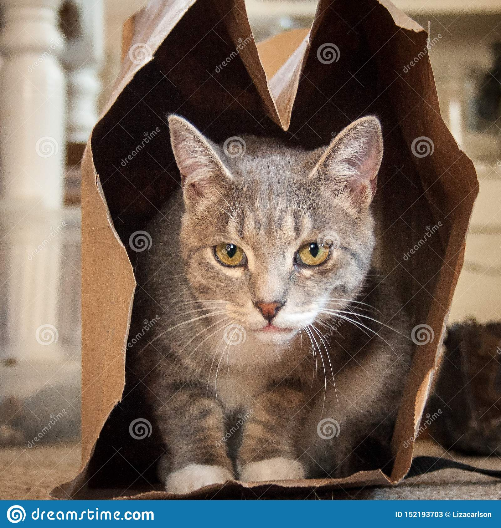Gray & White Cat in a Brown Paper Bag