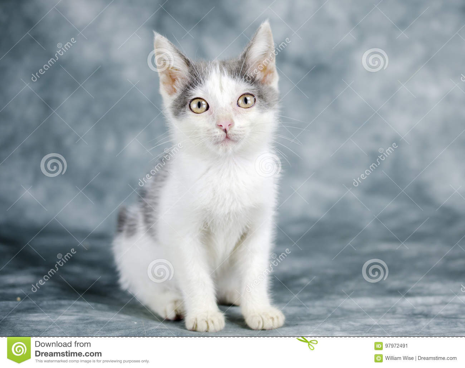 Gray And White Kitten Cat Stock Image Image Of Gray 97972491