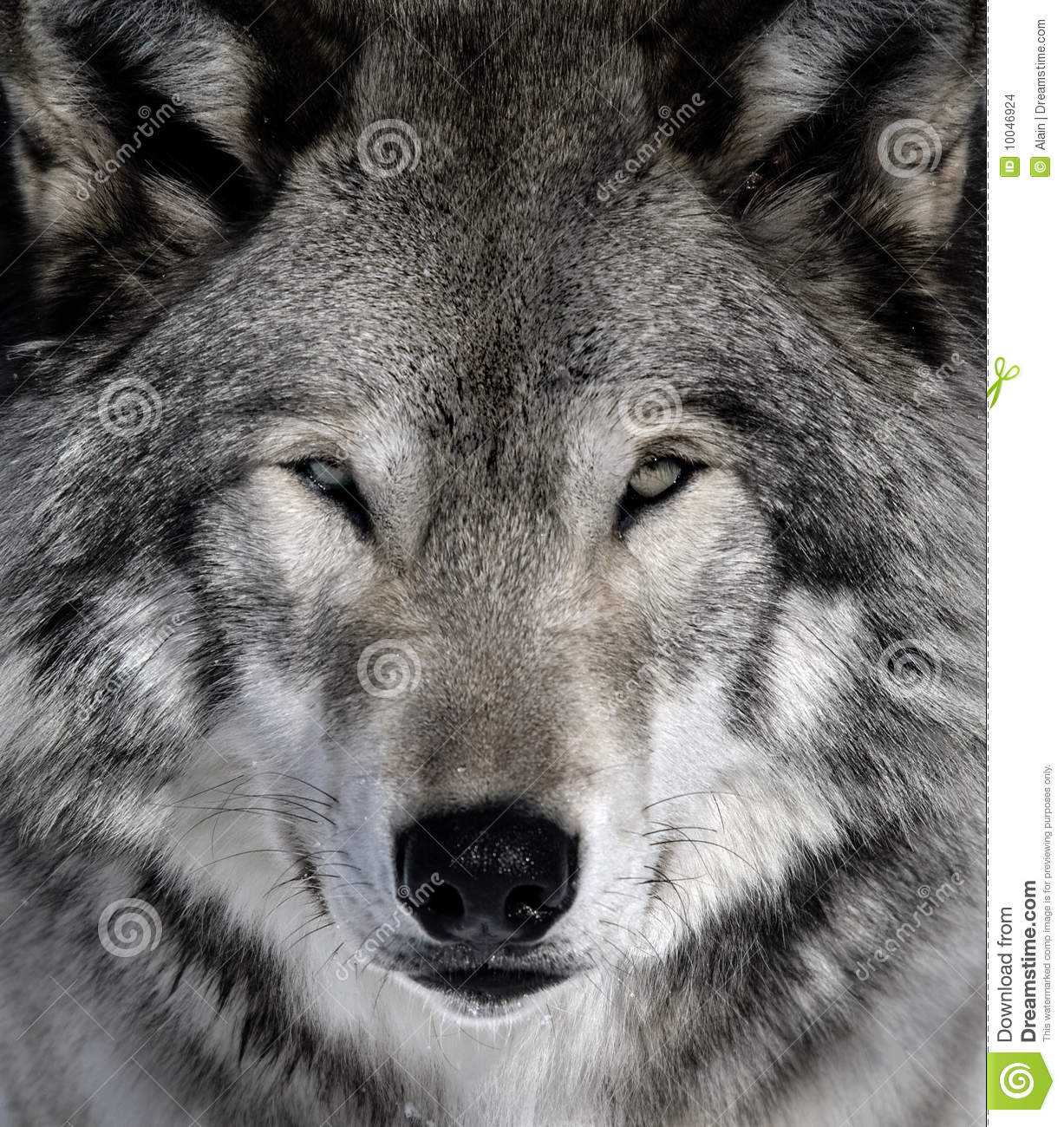 Gray Wolf Stock Images - Image: 10046924