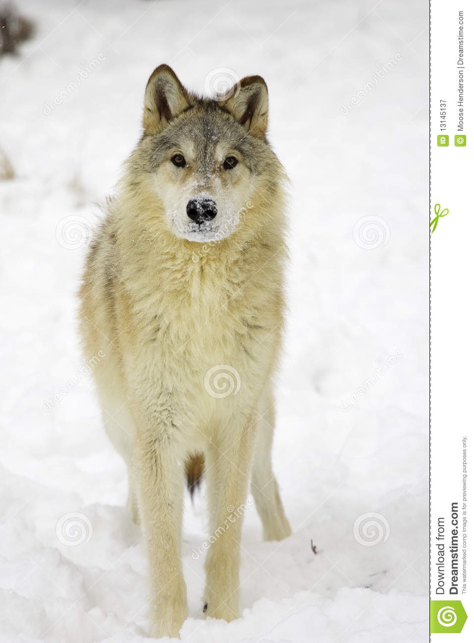 Gray Wolf Royalty Free Stock Photography - Image: 13145137
