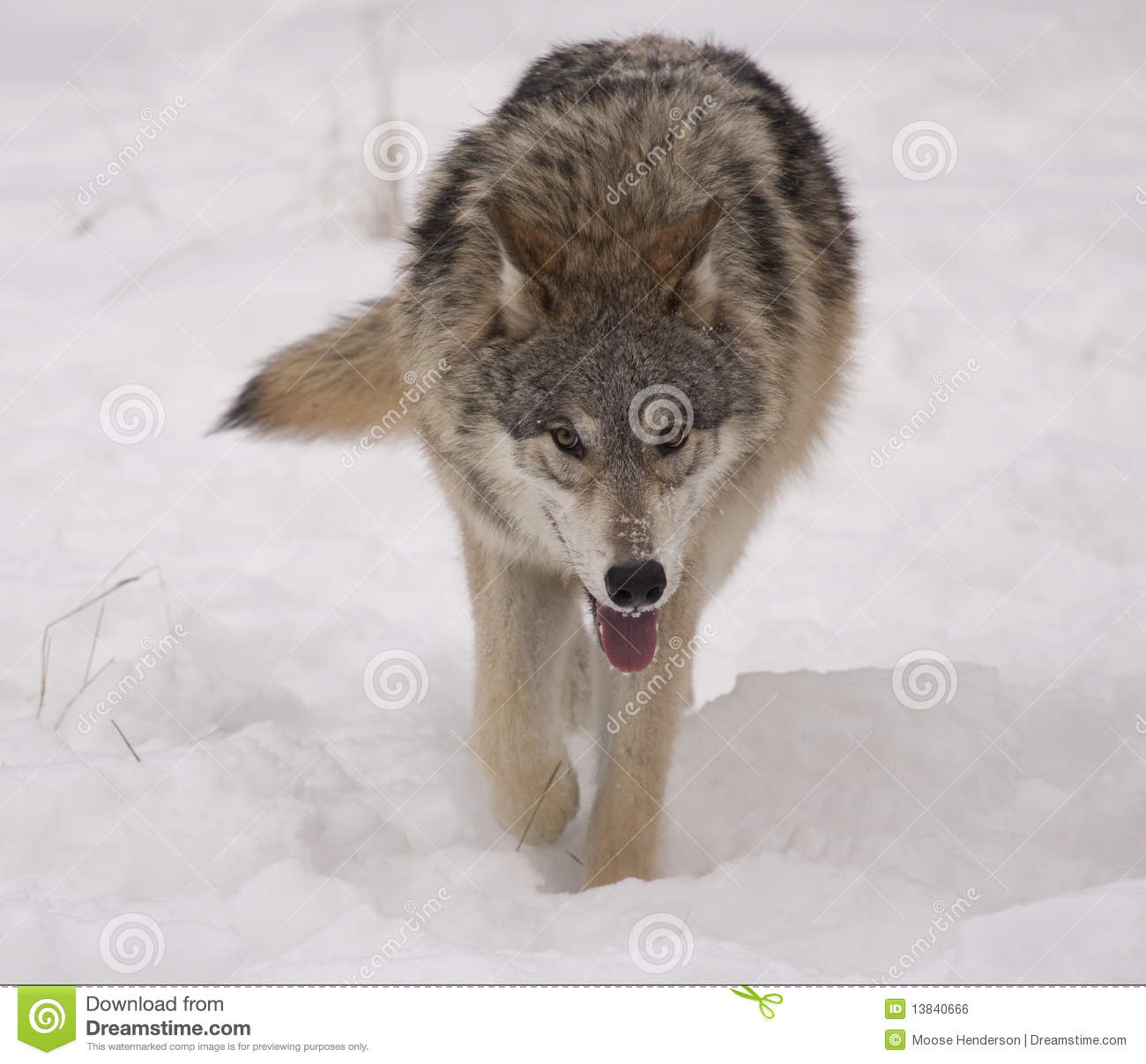 Gray Wolf Royalty Free Stock Image - Image: 13840666