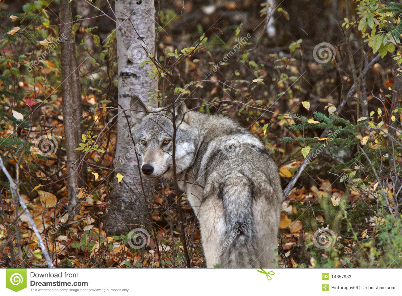 Gray Wolf along forest edge