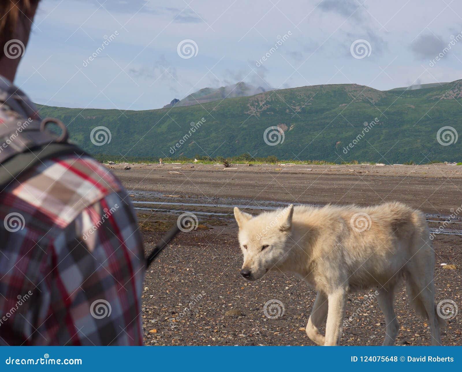 Gray Wolf Canis-lupis van Alaska