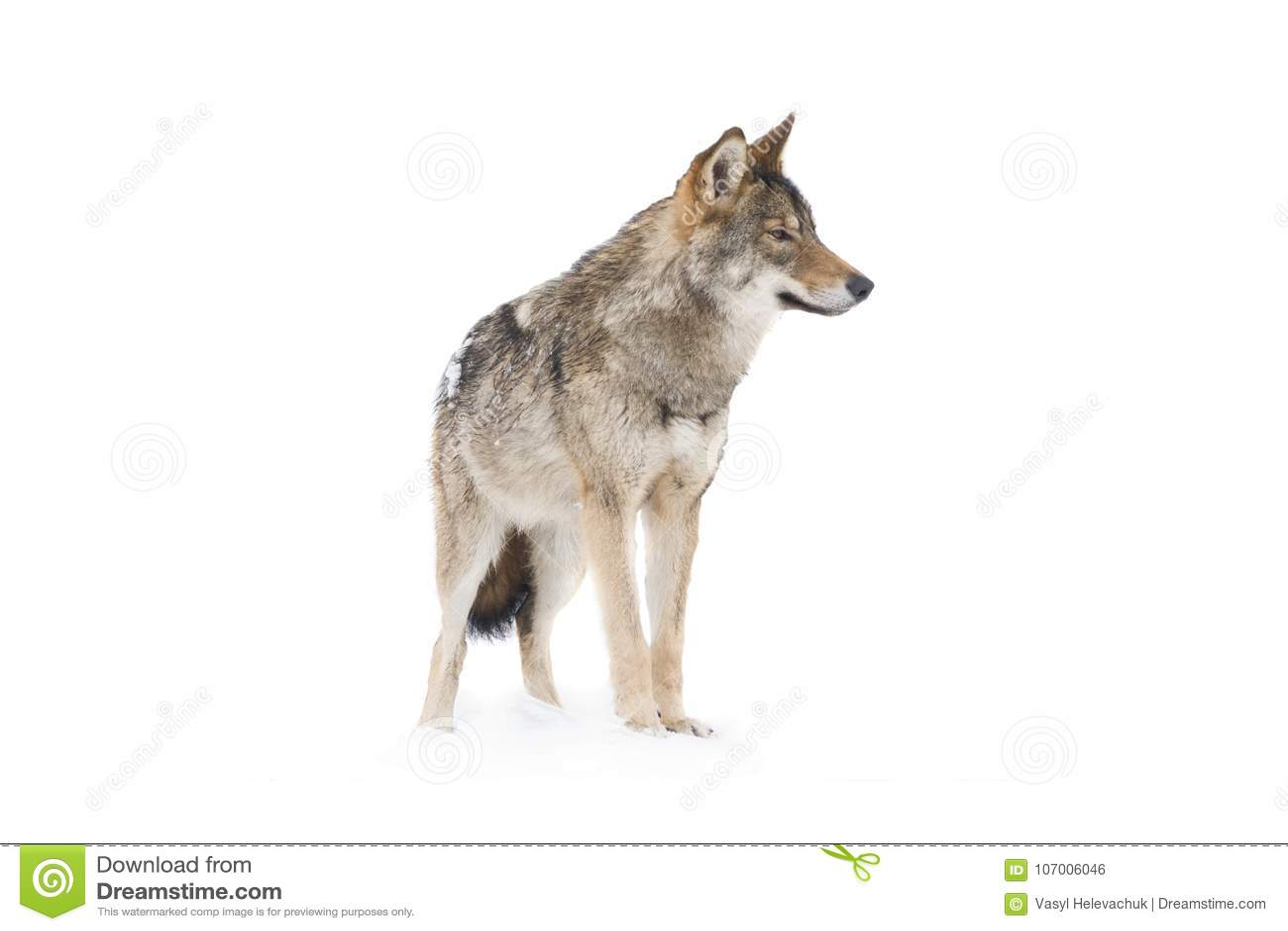 Gray Wolf Canis-wolfszweer