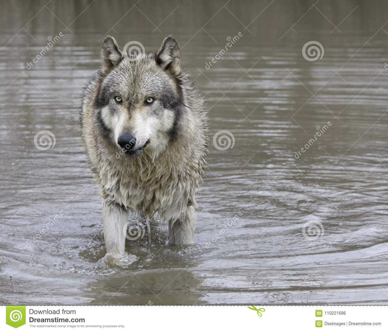 Gray Wolf With Green Eyes Standing In A Lake Stock Photo ...