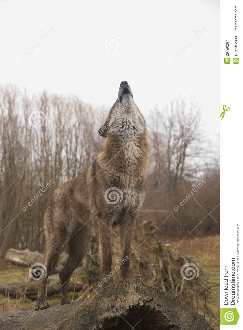 Howling Wolf Royalty Free Stock Photography - Image: 29780287