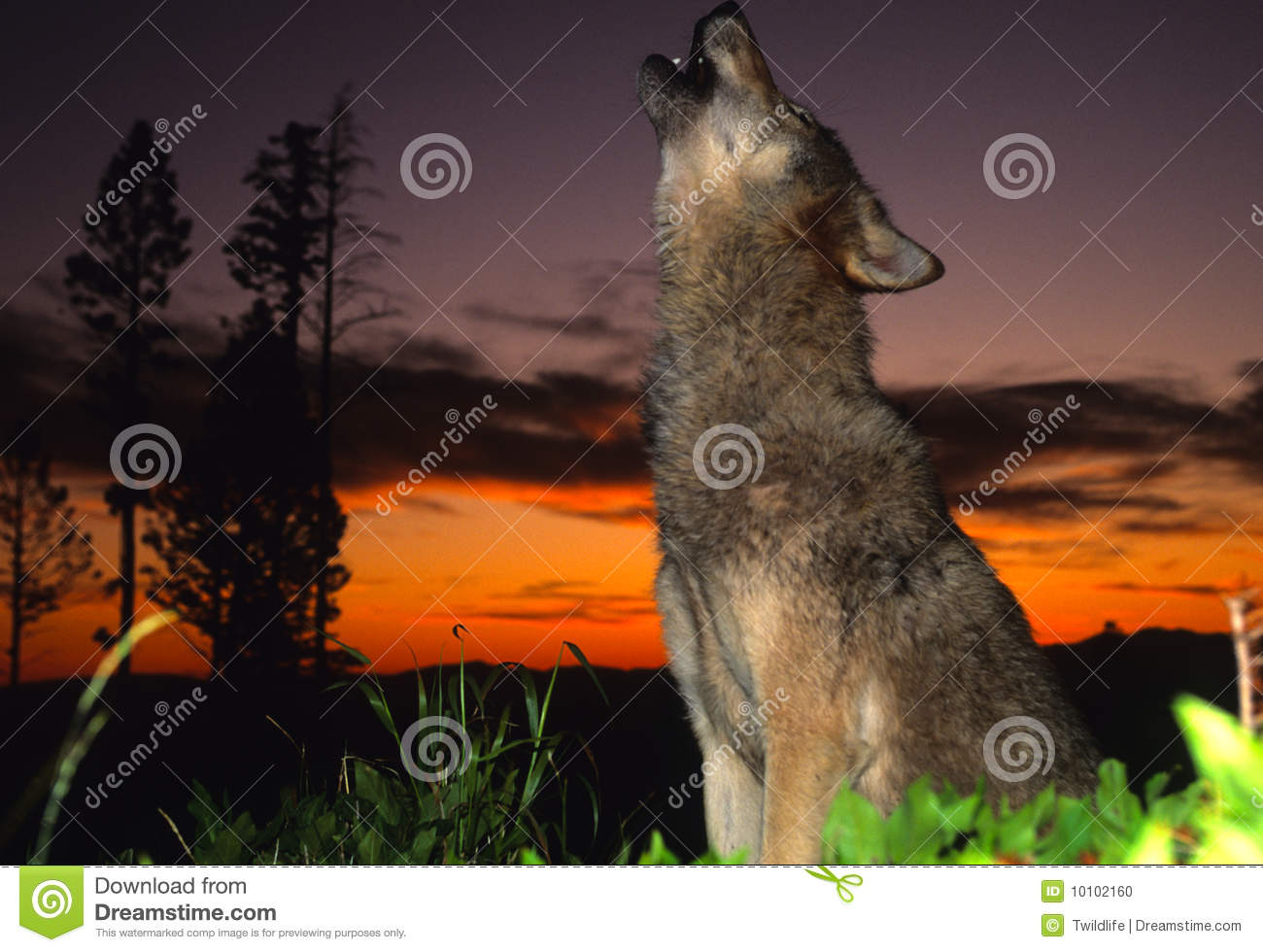 Gray Wolf Howling At Sunset Stock Photo - Image: 10102160