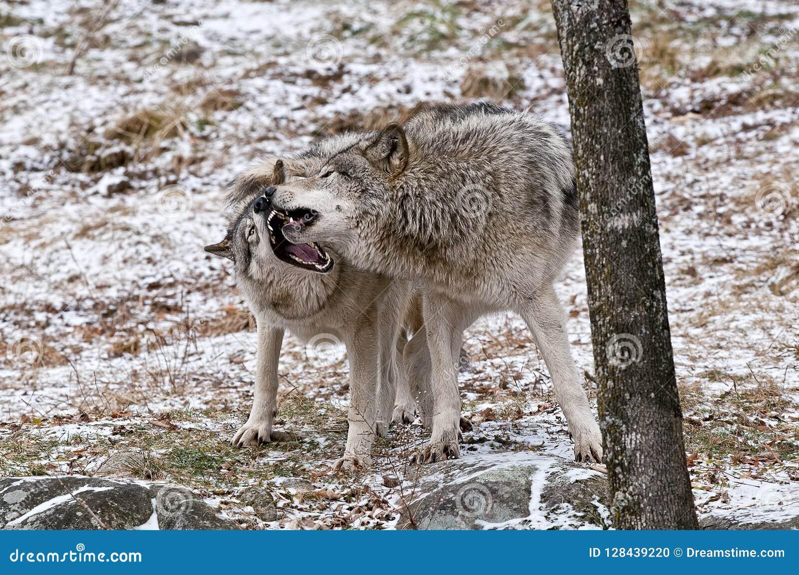 Spiel Wolf