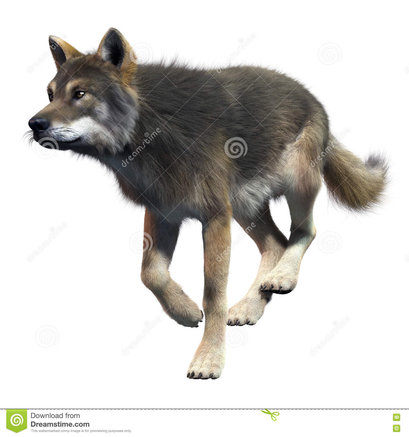 Gray Wolf Running Front View Stock Illustration - Image ...
