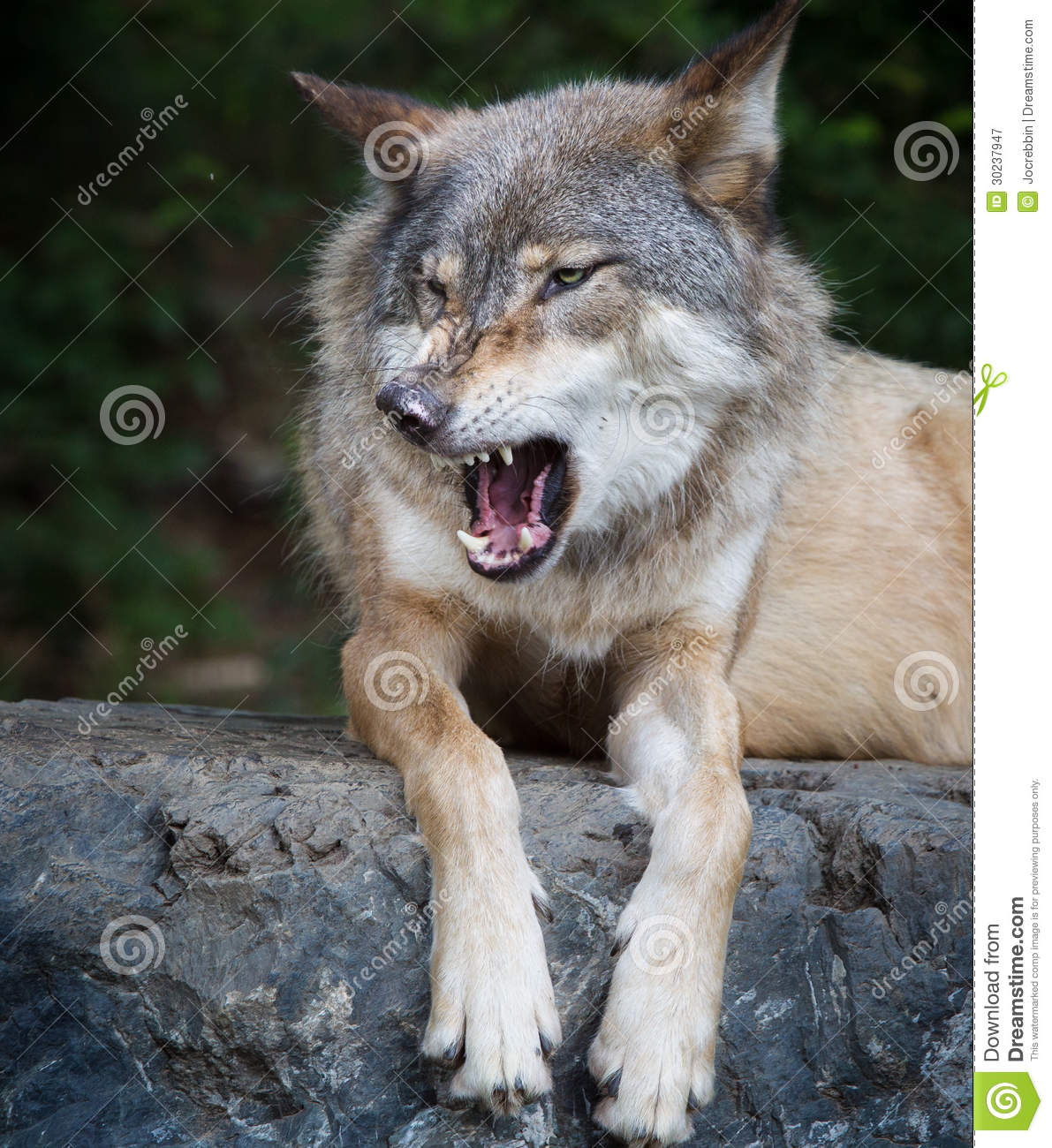 Snarling Gray Wolf Gray wolf snarls with mouth Angry Black Wolf Drawing