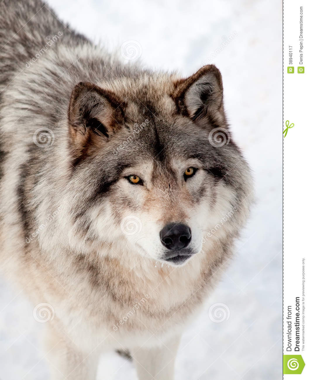 gray wolf in the snow looking up at the camera stock photo