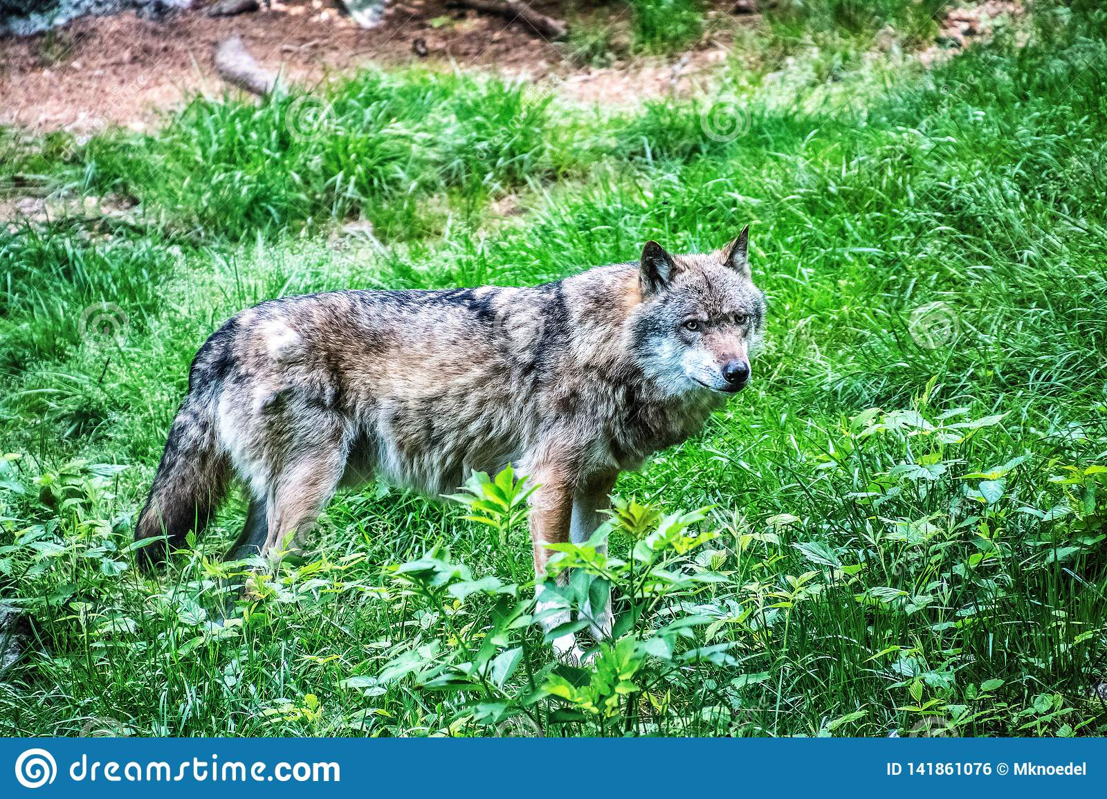 Gray wolf standing on the grass