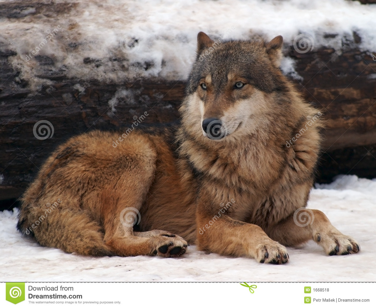 Gray Wolf In A Winter Royalty Free Stock Photos - Image: 1668518