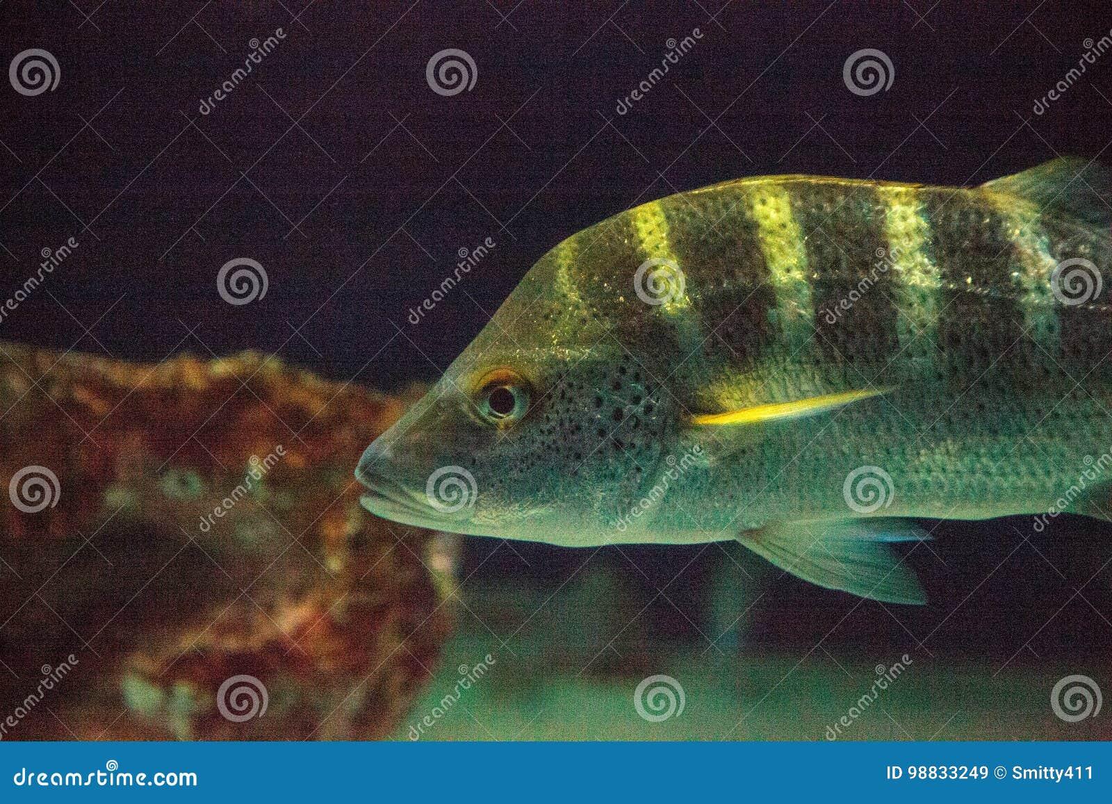 graybar grunt fish haemulon sexfasciatum stock image image of