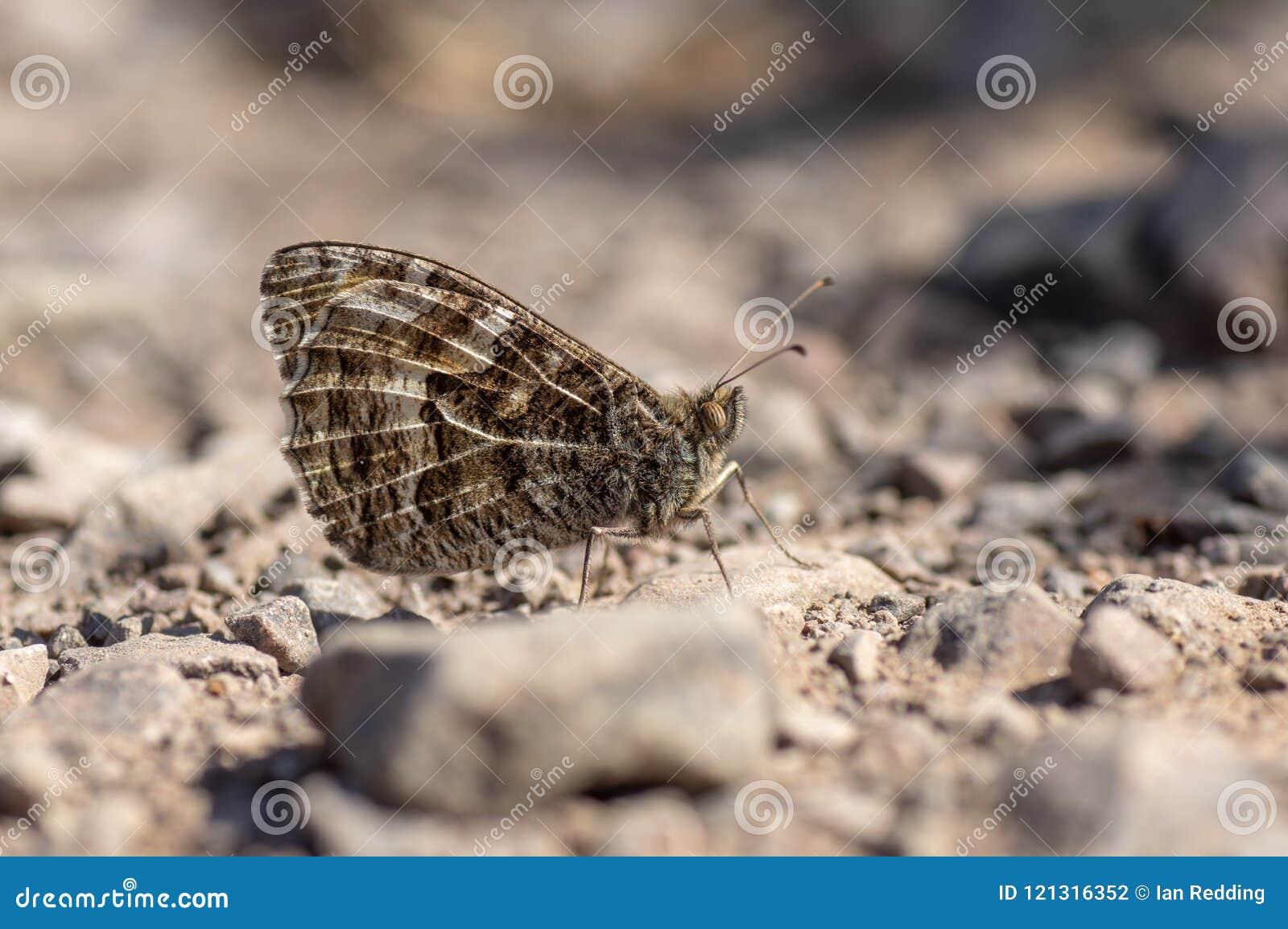 Graylingsvlinder Hipparchia semele op rotsachtige grond