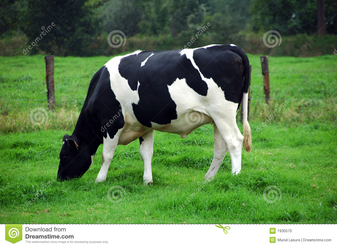 black-white grazing cow in green meadow (belgium).