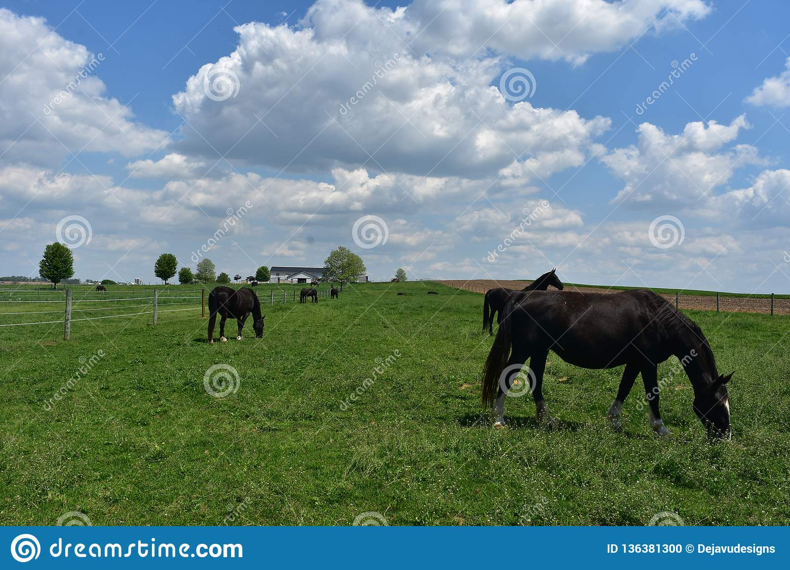 Grazing Herd of Black Horses on a Farm