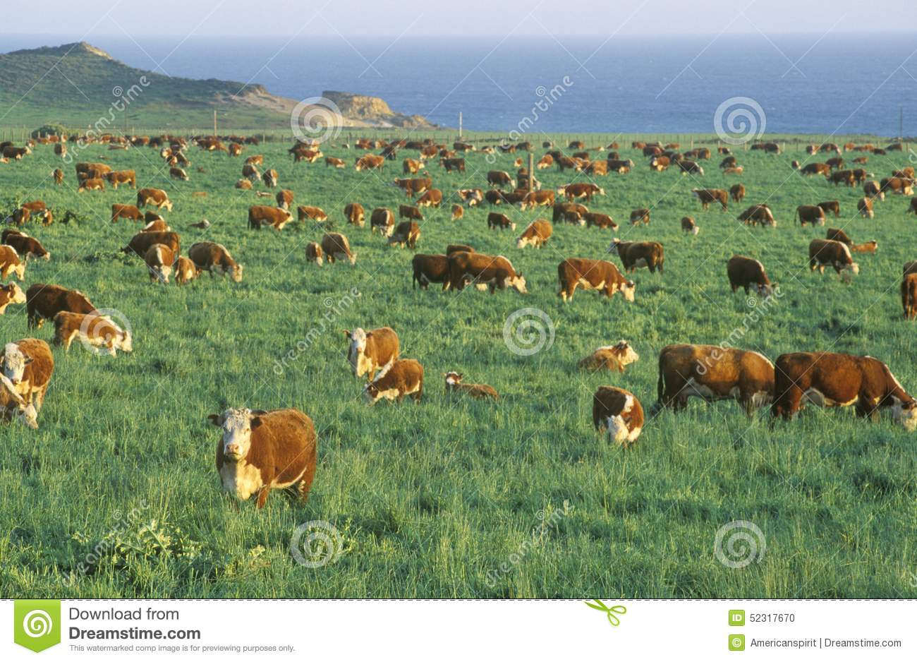 grazing hereford cattle on pch ca stock photo image. Black Bedroom Furniture Sets. Home Design Ideas