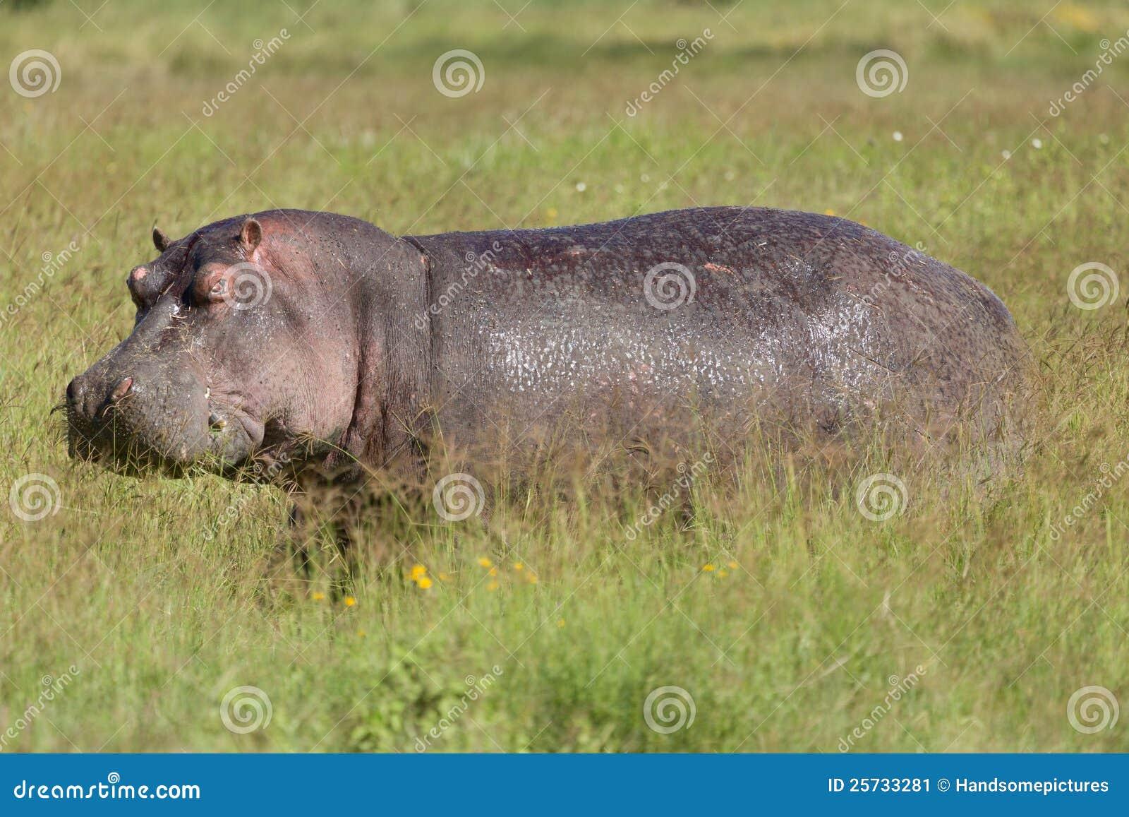Grazing Hippo