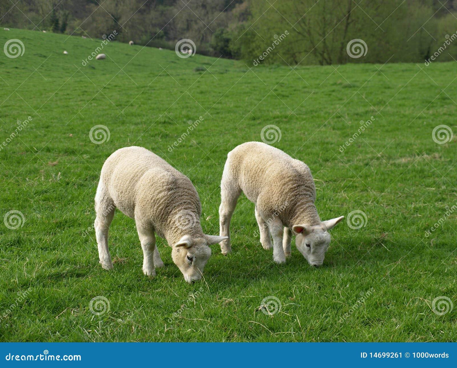 Grazing Lambs