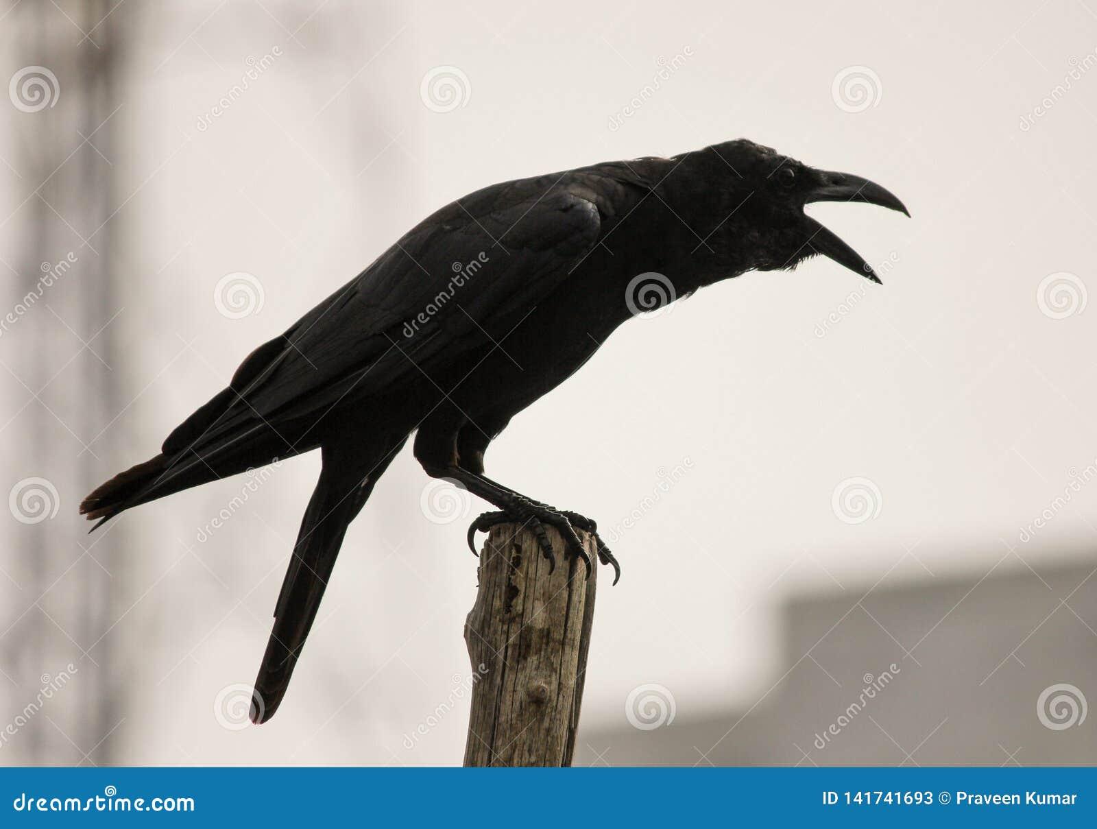 Graznidos negros del cuervo pájaro negro que predica en un palillo, aislado en el fondo de la ciudad