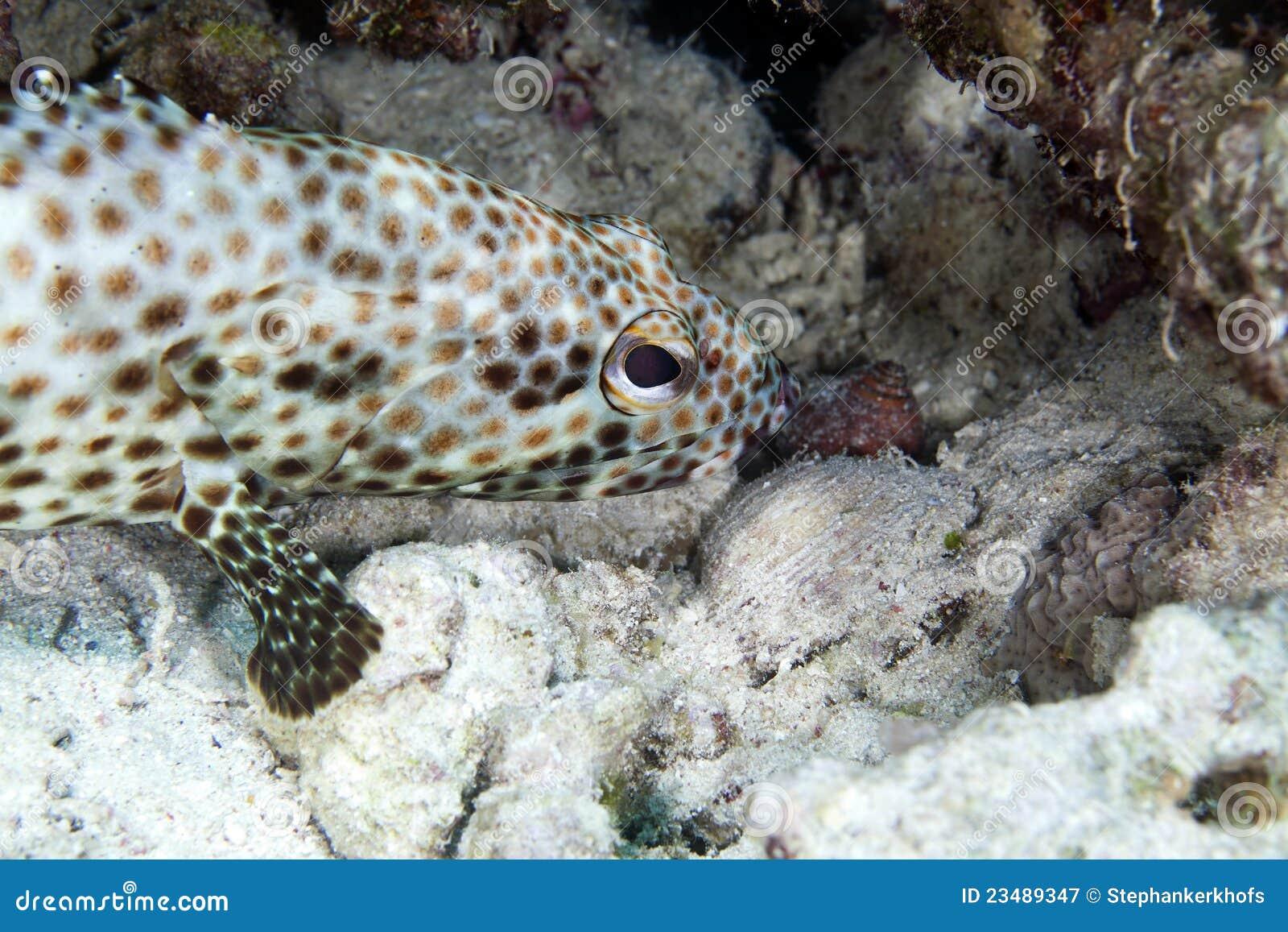 Greasy grouper (ephinephelus tauvina) in the Red Sea.
