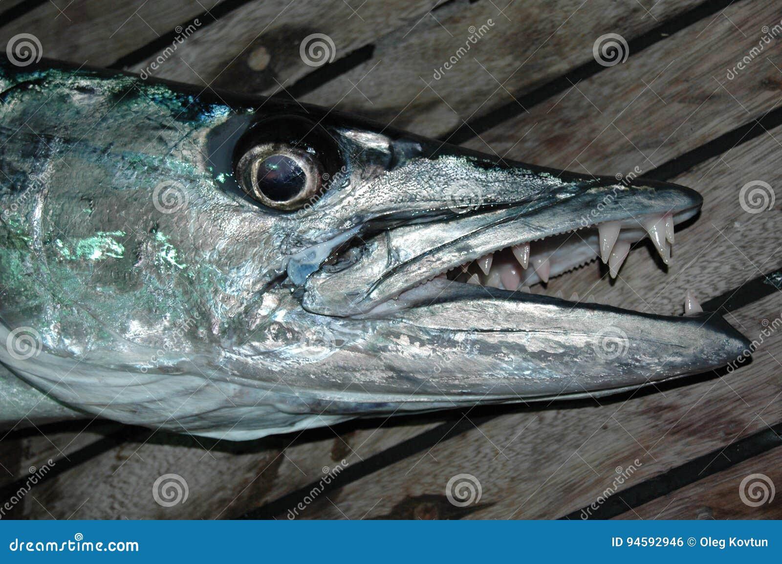 Great Barracuda With Sharp Teeth Stock Photo - Image of ...