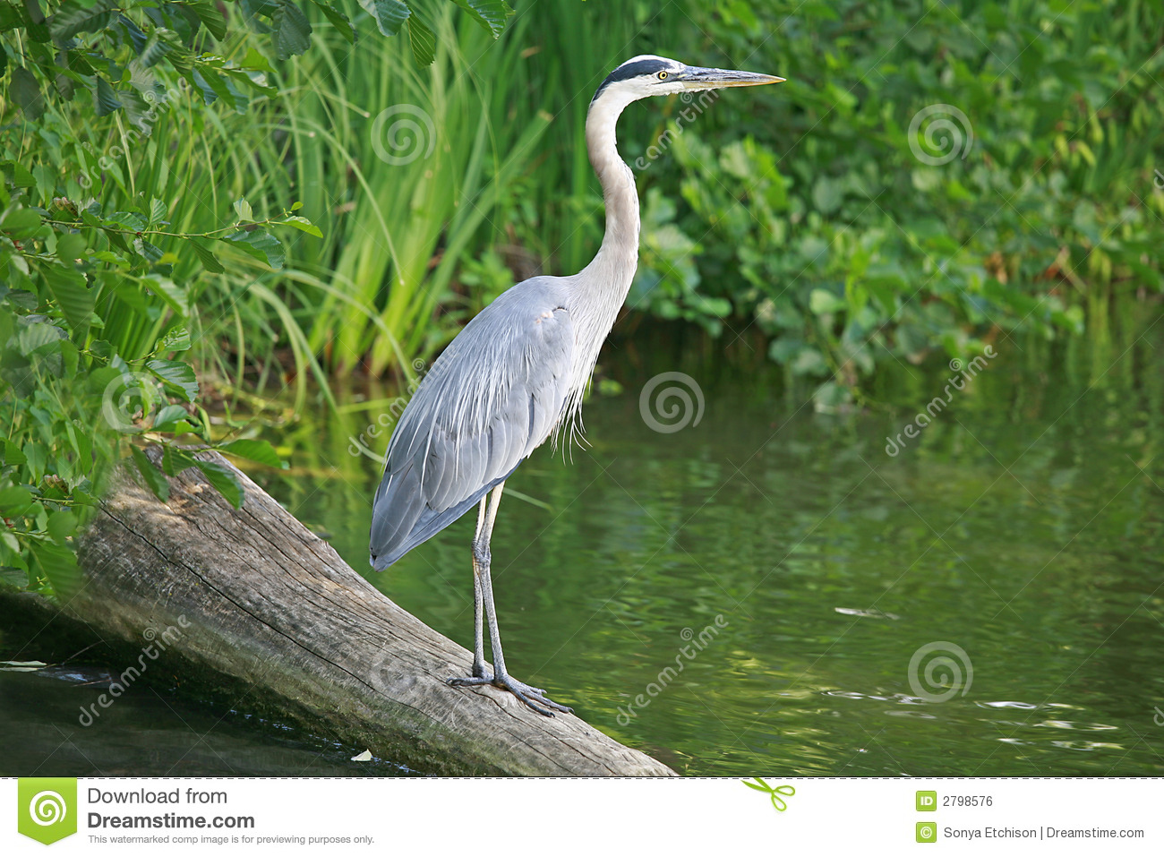 great blue heron stock photo  image of standing  outdoors