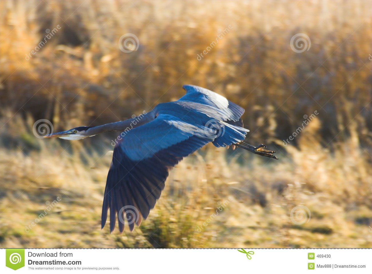 Download Great blue heron stock photo. Image of outside, single - 469430