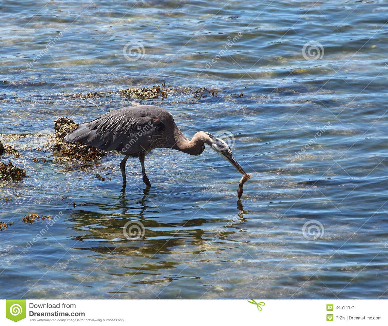 Great blue heron catching squid stock image image 34514121 for Blue heron fishing