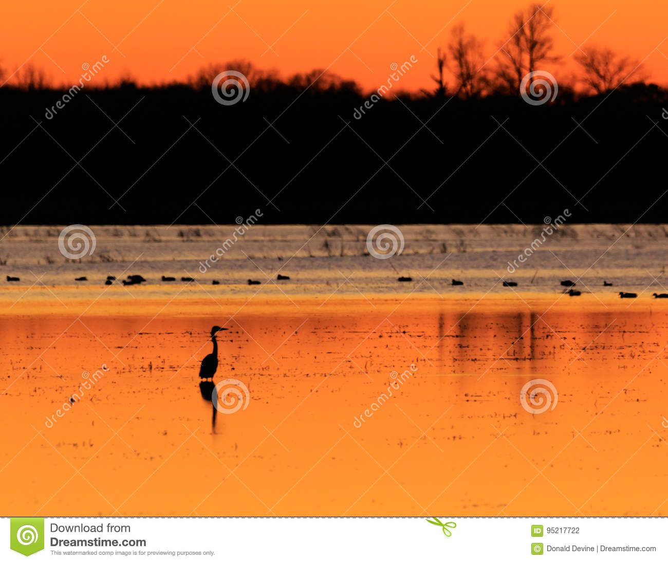 Great Blue Heron with ducks in the background standing in flooded rice field used as hunting ground during duck season at the Bald