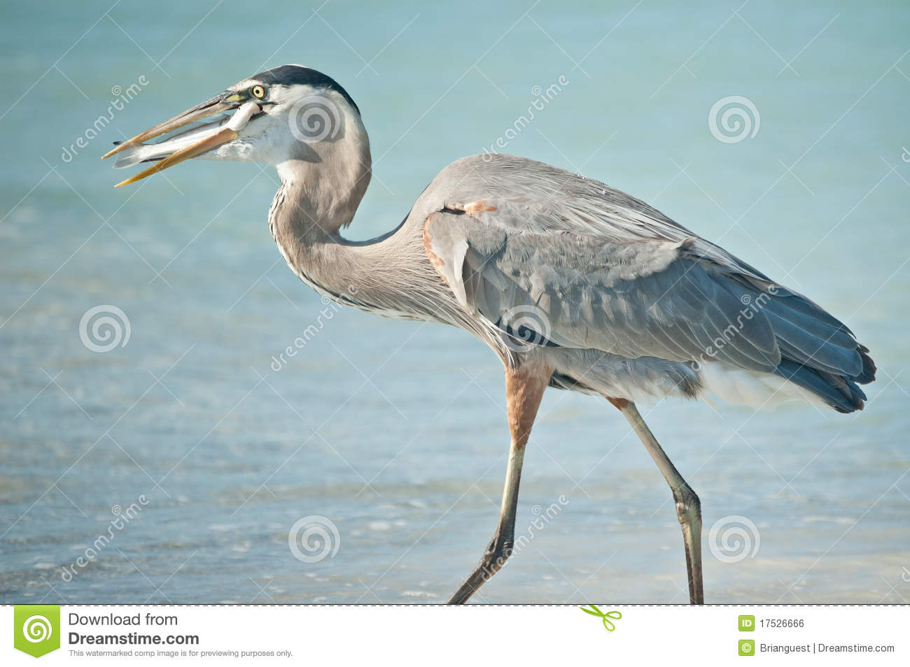 Great blue heron eating a fish on a florida beach royalty for Blue fish florida
