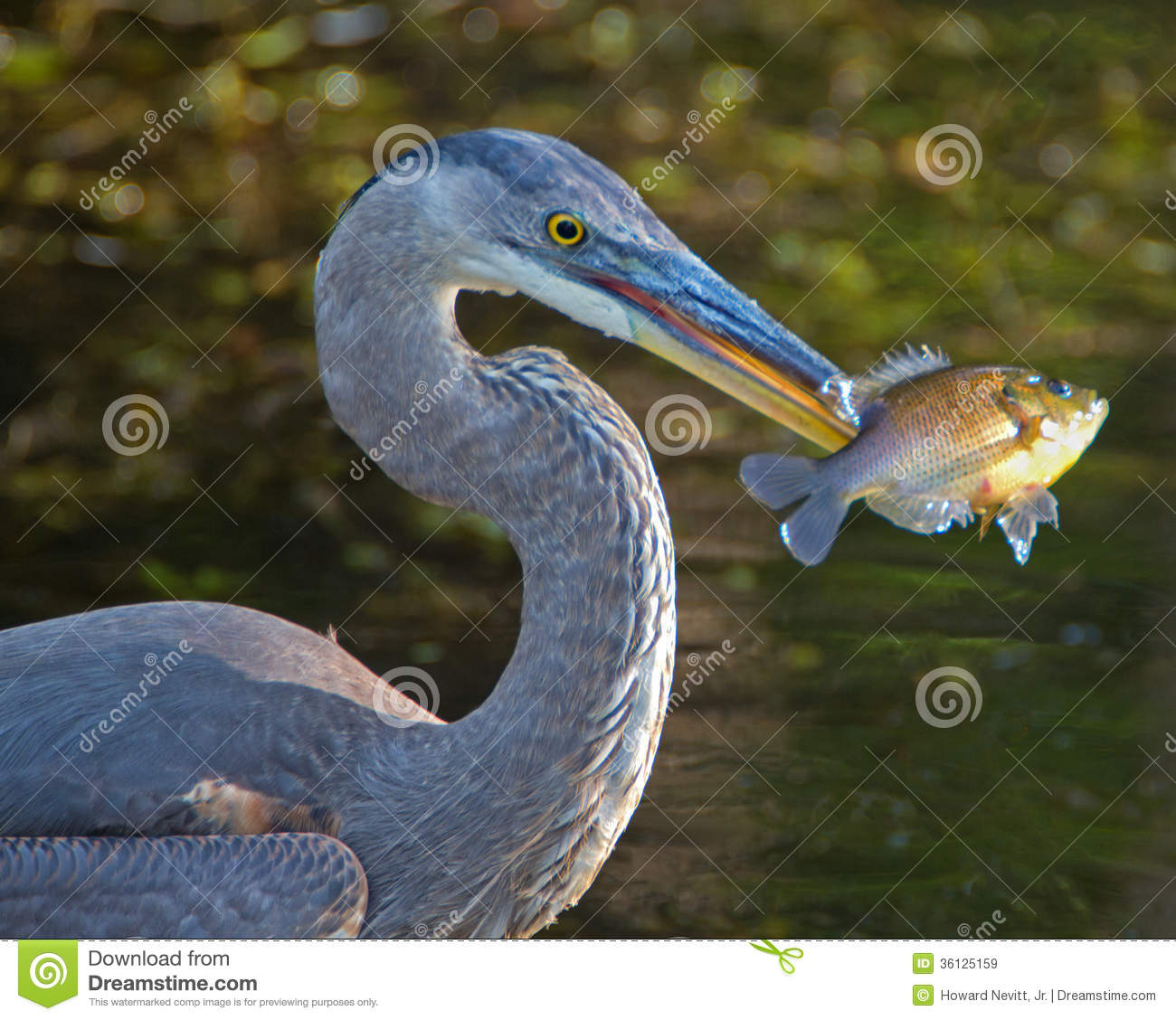 Great blue heron with fish royalty free stock images for Blue fish florida