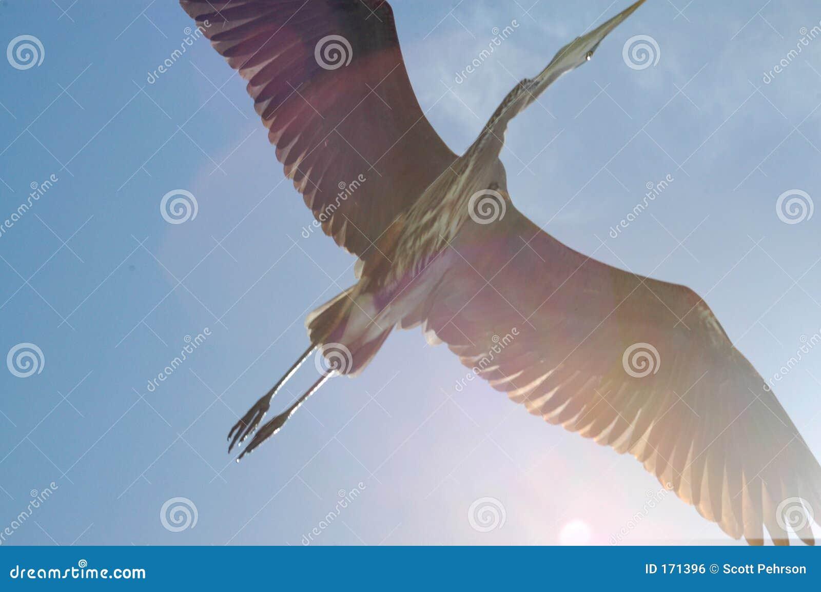 Great Blue Heron flies overhead