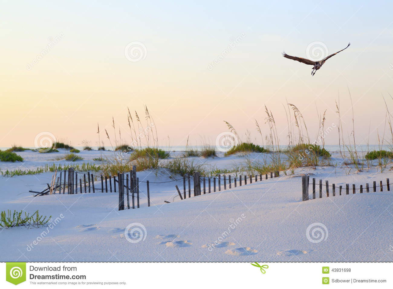 Great Blue Heron Flying Over Pristine Florida Beach at Sunrise