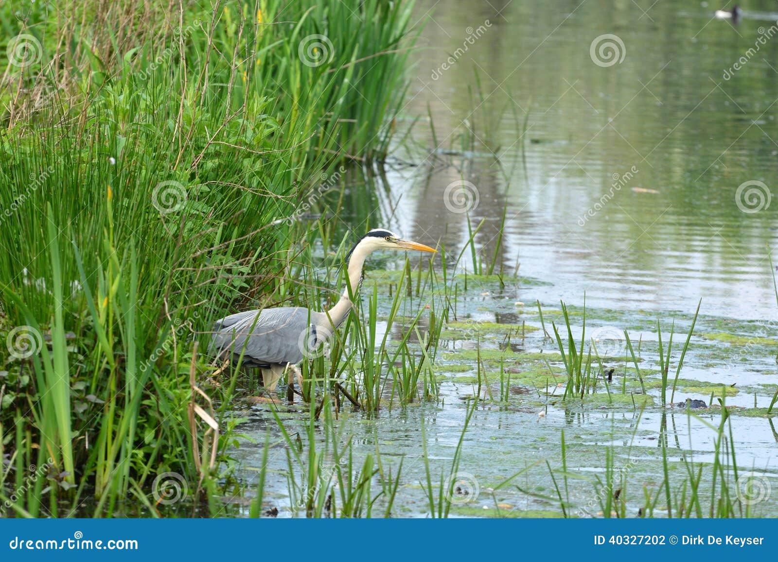Great blue heron in nature reserve Bourgoyen